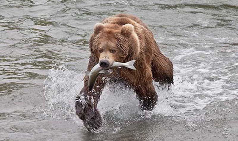 гризли ловит рыбу