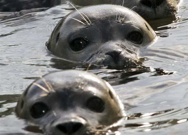 Боевой дозор тюленей