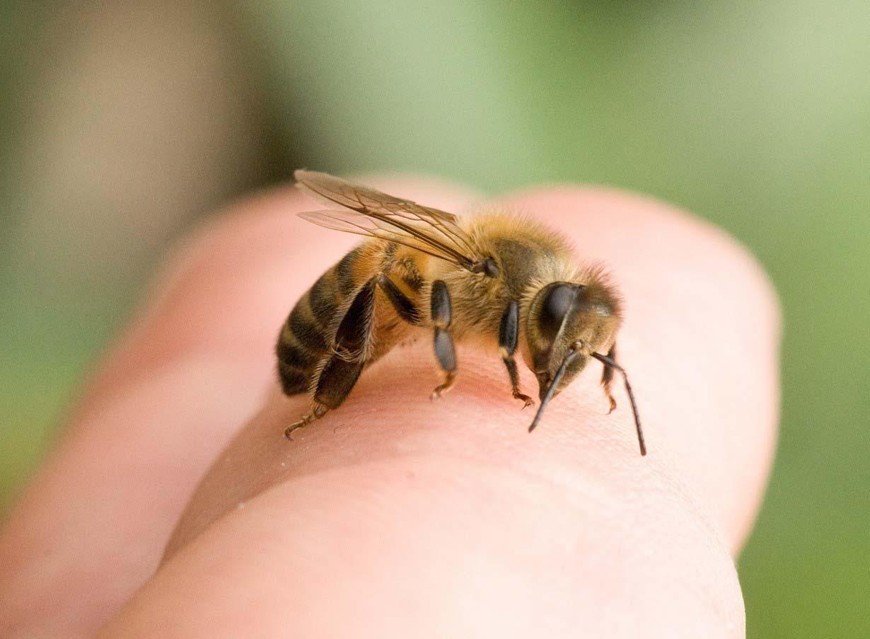 Покусала нижнюю пчела кусает член